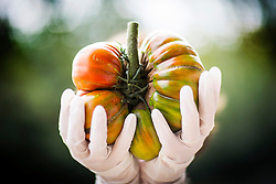 © Licensed to London News Pictures. 16/09/2016. Harrogate UK. Picture shows the first prize winning Gigantomo Tomato that weighed 1.4 kg belonging to Mr W Stringfellow at the Giant vegetable competition in Harrogate. The competition see's competitors from across the UK show their biggest Carrot's, Cucumbers, Cabbages, Onion's & Tomatoes competing for the title of heaviest & longest at the Harrogate Autumn Flower Show. Photo credit: Andrew McCaren/LNP