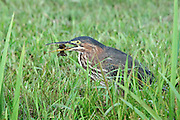 The green heron worked along the edge of the pond in very slow steps.  Stopping periodically to pier into the water.  All at once, its head darted out from its body and pulled back with a large crawfish in its mouth.  Success, breakfast at last!
