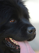 portrait of a Newfoundland pedigree dog