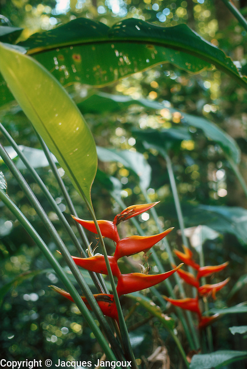 Heliconia sp. (family Heliconiaceae) in rainforest in Guadeloupe.