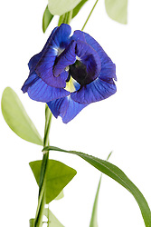 Blue Butterfly Pea, clitoria ternatea#1