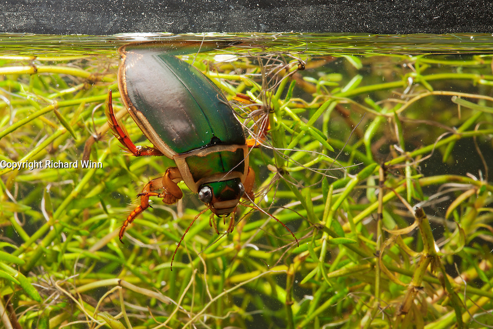 Great diving beetle collecting a bubble of air in a studio set, using an aquarium, lit from above by a softbox. A proportion of the proceeds will be donated to the Aigas Trust for environmental education.