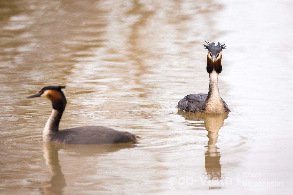 A pair of great crested grebes (Podiceps cristatus australis) swim close to each other on a small sheltered lake showing their beautiful chestnut facial frills and double crests. Lake Elterwater, Marlborough, New Zealand. August.