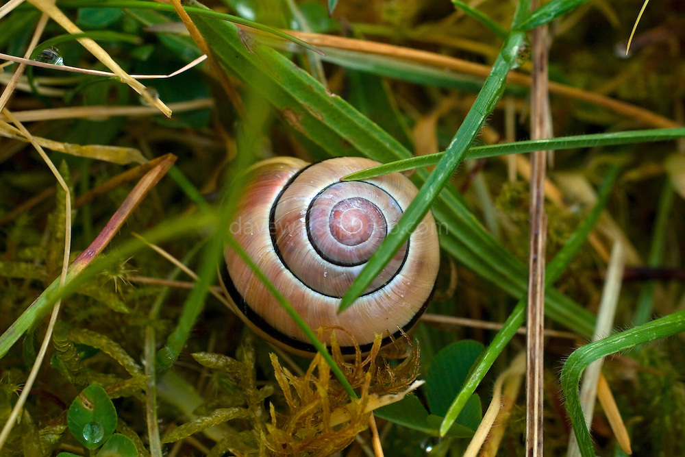 Cepaea hortensis) - Brown lipped snail photographed beside Cahercommaun stone fort, the Burren, Co. Clare, Ireland..