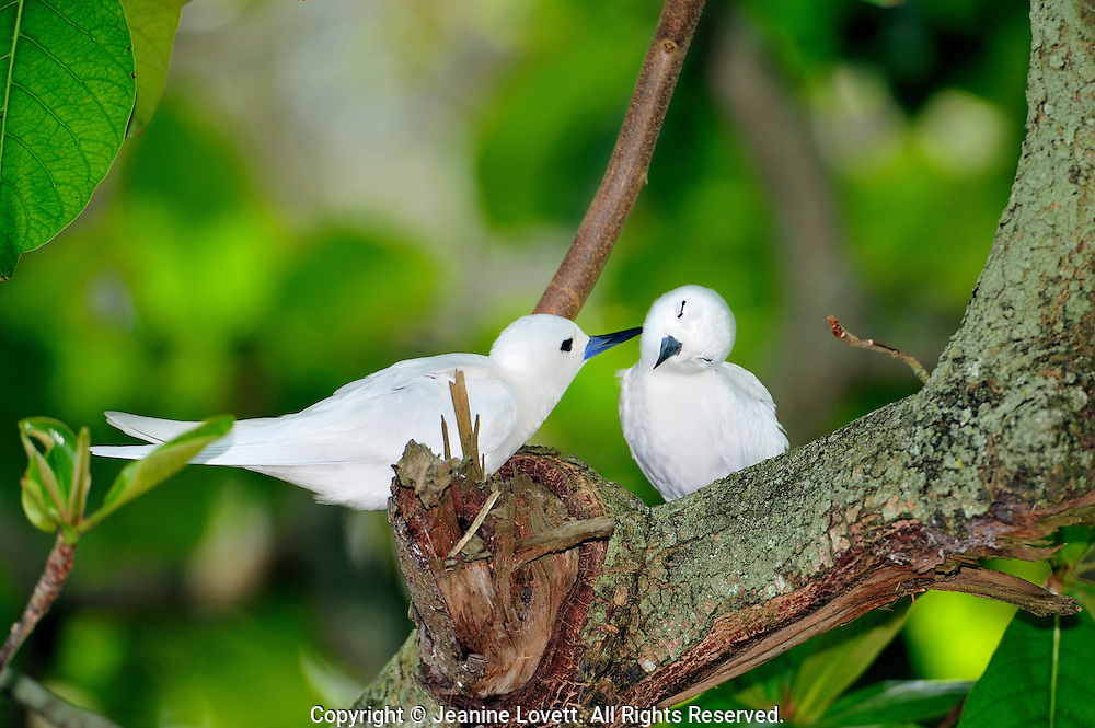 Male and female white fairy terns preening.
