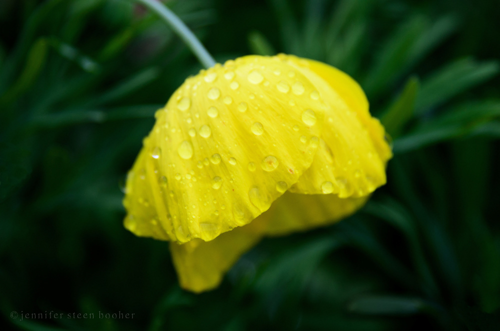 A bright yellow California poppy sprinkled with raindrops against a dark green background.
