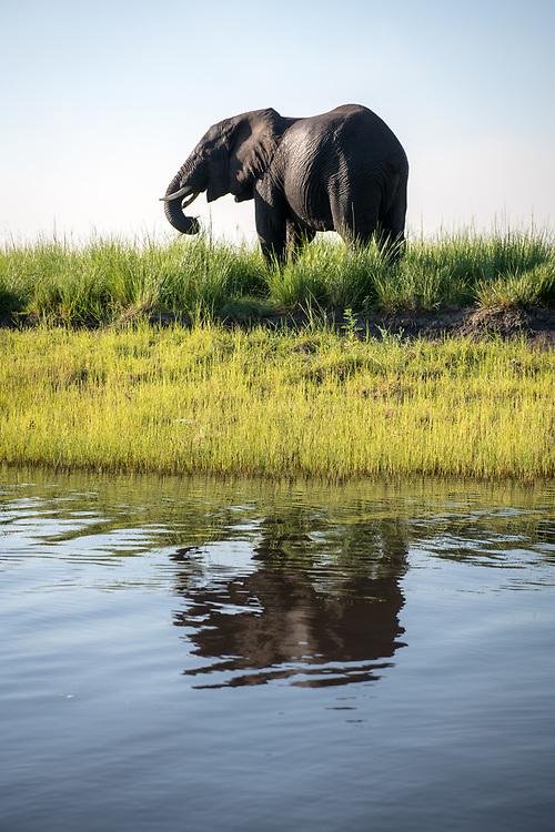 An elephant walks along the bank of the Chobe River. Chobe National Park - Botswana