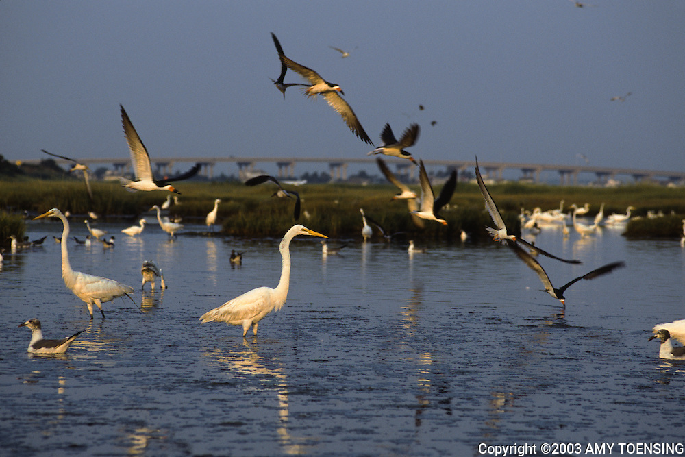 WILDWOOD, NJ - AUGUST 20: Egrets and other water birds of the Jersey Shore feed in a salt marsh in the early morning August 20, 2003 in Wildwood, New Jersey. The Jersey Shore, a 127 mile stretch of coastline known for its variety of beaches, boardwalks, small towns, natural beauty and summer crowds, has been a popular summer destination for over a century. (Photo By Amy Toensing)