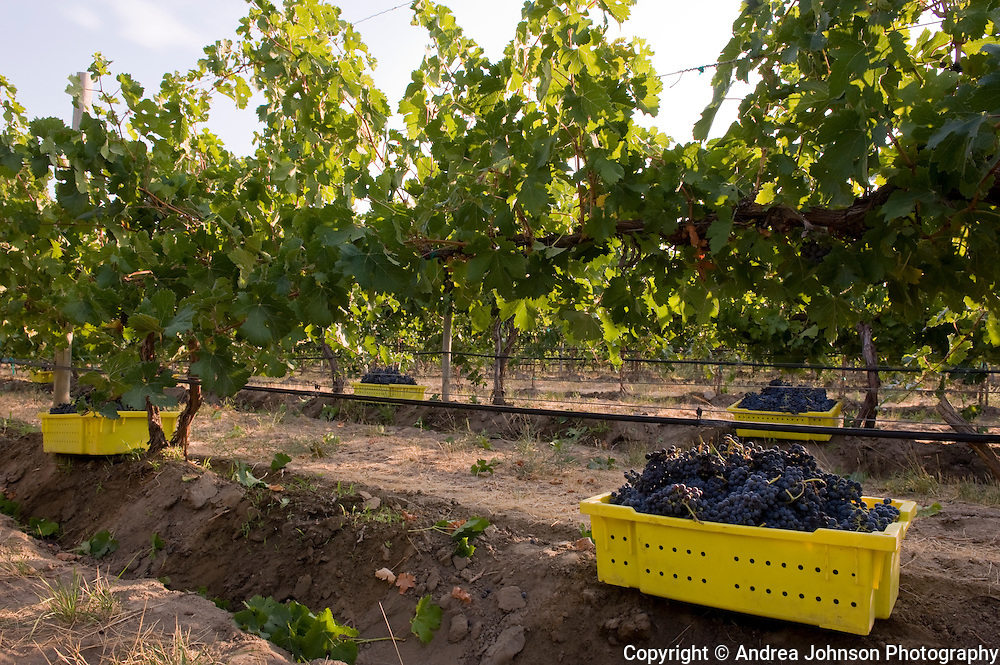 Jim Holmes at Grand Ciel Vineyard, Red Mountain AVA, Yakima Valley wine region, Eastern Washington, USA