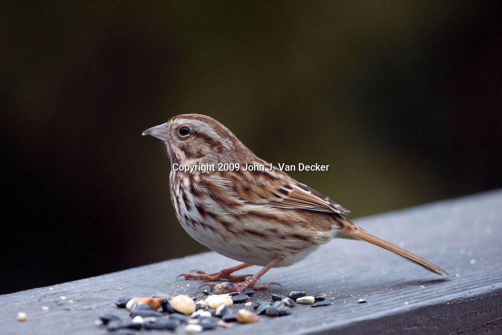 Song Sparrow with bird seed