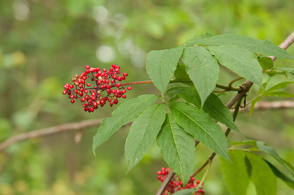 The common red elderberry is found throughout most of North America, excluding the Gulf coastal plain and the states of South Carolina, Arkansas, Oklahoma, Nebraska and Kansas. Not as often used as it once was in the past, elderberries are known to make fantastic jellies and wines. Caution should be used before consuming them - unless properly cooked, elderberries can cause nausea in most people, and the leaves and bark contain toxic compounds that produce arsenic. This one was found and photographed in a small wooded area just south of Seattle, Washington.