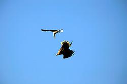 NORWAY LOFOTEN HENNINGSVAER 28MAR07 - Sea Eagle gets attacked by a seagull in mid-flight on the Lofoten islands...jre/Photo by Jiri Rezac..© Jiri Rezac 2007..Contact: +44 (0) 7050 110 417.Mobile:  +44 (0) 7801 337 683.Office:  +44 (0) 20 8968 9635..Email:   jiri@jirirezac.com.Web:    www.jirirezac.com..© All images Jiri Rezac 2007 - All rights reserved.
