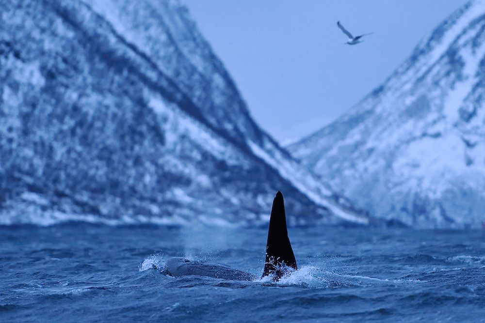 Orca, or Killer whale, Orcinus orca, and Herring gull, Larus argentatus, Senja, Troms county, Norway, Scandinavia