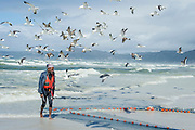 Kelp gulls hover over a trek net that is being hauled to shore. The gulls hope to steal fish trapped in the net, Strandfontein beach, False Bay, Cape Town, Western Cape, South Africa