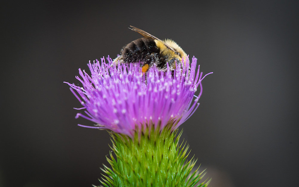 A bumble bee collects nectar from the flowery head of a spear thistle. The herbaceous plant of the daisy family is known for its prickly stem and leaves and rounded heads of purple flowers. (Sam Lucero photo)