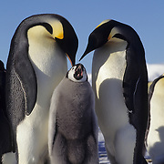 Emperor Penguin (Aptenodytes forsteri) chick cries for food from adults in Atka Bay, Antarctica.