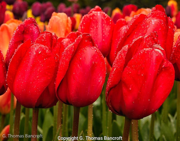 The water droplets stuck to the buds of these red tulips.