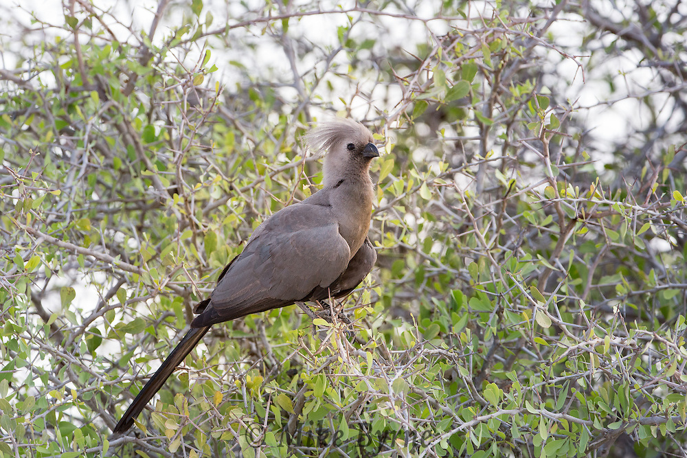 Grey Lourie at Etosha National Park, Namibia.