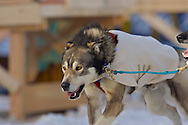 March 7th, 2009:  Anchorage, Alaska - One of the lead dogs of Rod and Carol Udd, the Honorary mushers, on 4th Avenue to kick off the 2009 Iditarod.