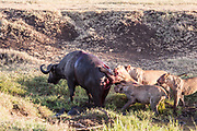 Lionesses, part of a pride, take down a cape Buffalo in Ngorongoro Crater, Tanzania. Hunting cooperativelly. Often lions are killed by cape buffalo while trying to take down and kill this dangerous animal.