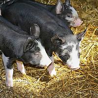 Berkshire piglets.