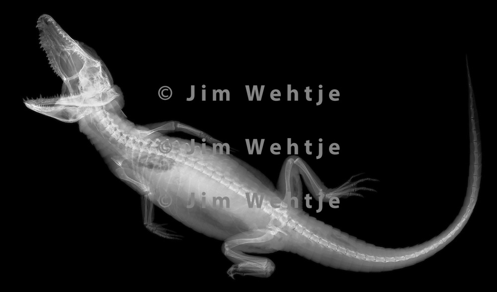 X-ray image of a baby American alligator (white on black) by Jim Wehtje, specialist in x-ray art and design images.