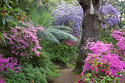 Looking along a woodland path with Rhododendron 'Hinamayo' (Kurume azalea) in the foreground with tree fern and R. augustinii beyond
