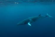 Balaenoptera acutorostrata (Dwarf Minke Whale)