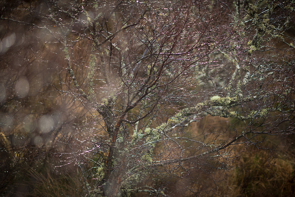 Leafless shrubs and dwarf trees glint after a shower near Lochinver in northwest Scotland.