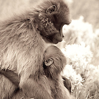Mother and child, gelada baboons, Theropithecus gelada, on the Guassa Plateau of Ethiopia