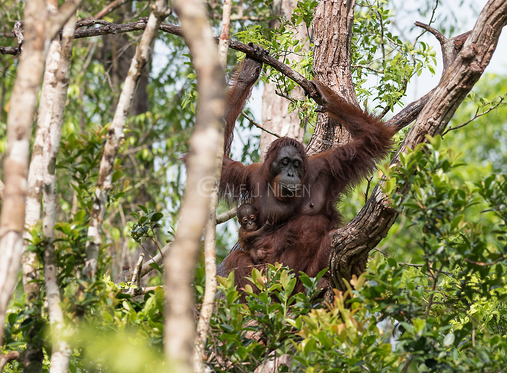 Borneo Orangutan (Pongo pygmaeus wurmbi) and it's tiny infant in the canopy of Tanjung Puting National Park, Kalimantan, Indonesia