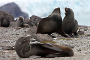 Penguin Island, Antarctica - Two young male Antarctic fur seals fight Penguin Island, South Shetland Islands.<br />  &copy;Ann Inger Johansson/zReportage/Exclusivexpix media