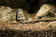 Procyon lotor (Northern Raccoon): Mammalia: Carnivora: Procyonidae<br /> taken with infrared triggered camera trap<br /> TEXAS: Travis Co.<br /> Brackenridge Field Laboratory; Austin<br /> 5-Nov-2008<br /> J.C. Abbott