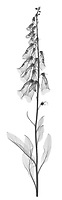 X-ray image of a purple foxglove stalk (Digitalis purpurea, black on white) by Jim Wehtje, specialist in x-ray art and design images.