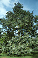 Atlas Cedar Cedrus atlantica (Pinaceae) HEIGHT to 40m <br /> Broadly conical or pyramidal tree, domed when mature. Leading shoot usually rises above domed top. BARK Dark grey, cracking into large plates with deep fissures. BRANCHES Tips angled upwards. Shoots short and ascending. LEAVES shiny deep green 1-3cm long and in clusters. REPRODUCTIVE PARTS Male cones 3–5cm long, pinkish-yellow. Ripe female cones are squat, with a sunken tip and small central boss; to 8cm long and 5cm across. STATUS AND DISTRIBUTION Native of Atlas Mountains of N Africa; widely planted for ornament.