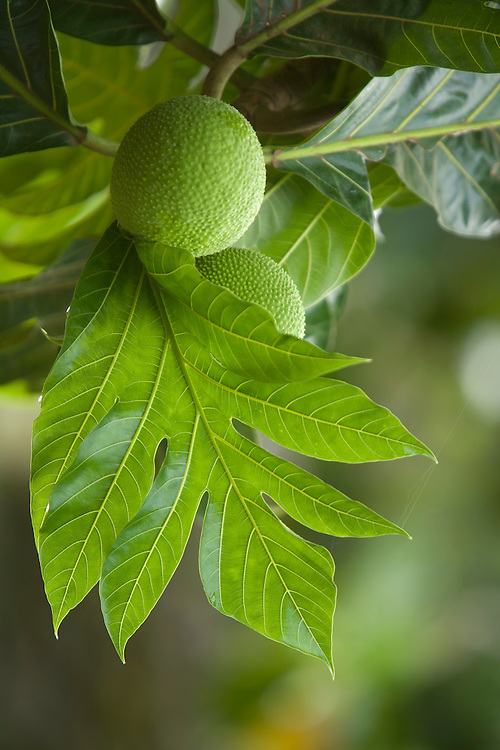 Ulu fruit and leaves