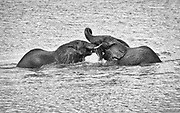 The Chobe River is in full flood normally in April and May. At this time it is a magnet for many species including the large herds of elephants of the greater Chobe region (40,000 or more). Bull elephants often like to test their strength and spar with other after bathing and drinking. It is a means to ascertain relative dominance in small bachelor groups. Chobe National Park, Botswana