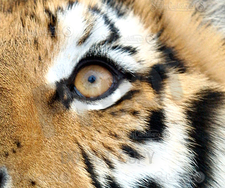 Apr 03, 2002; Lake Elsinore, CA, USA; TUFFY a Siberian Tiger's eye @ Tiger Creek, a non-profit organization dedicated to the conservation of endangered wildcats. <br />