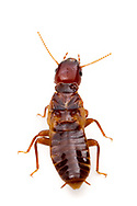Pacific coast dampwood termite (Zootermopsis angusticollis)<br /> CALIFORNIA: Mono Co.<br /> June Lake  37.77810 -119.07734  2323 m<br /> 13-17.June.2012  <br /> J.C. Abbott #2601 & K.K. Abbott