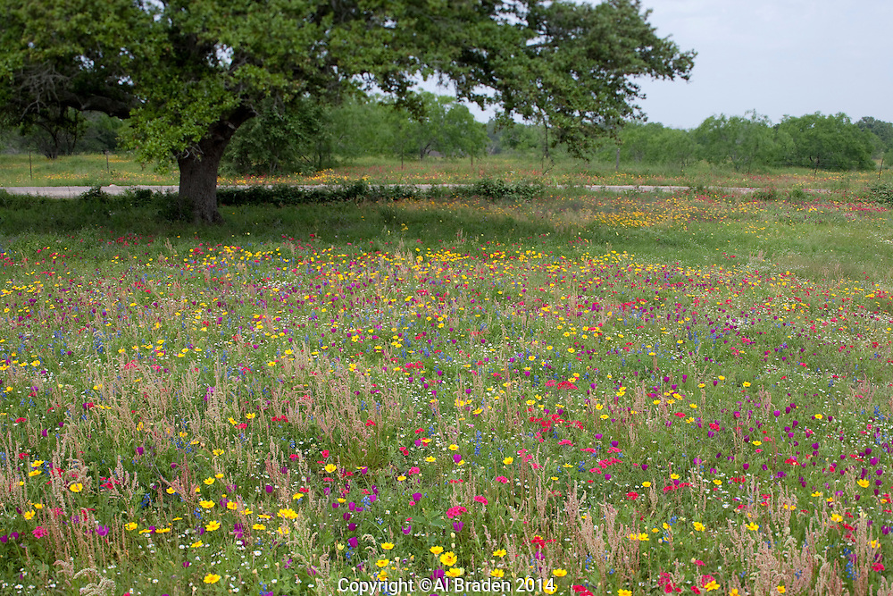 Drummond Phlox, Bluebonnets, Coreopsis and other wildflowers, Gonzales County, Texas