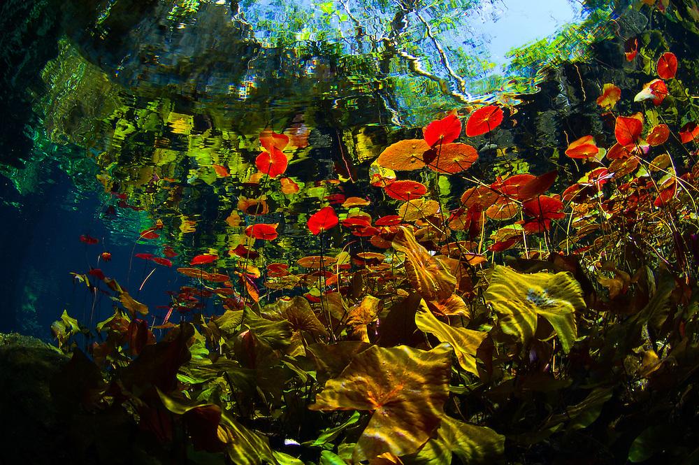 Nénuphar à proximité de la surface de Grand Cenote. | Water lily near Grand Cenote surface.