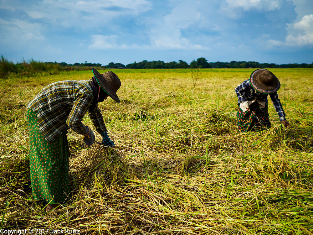 "21 NOVEMBER 2017 - MAUBIN, AYEYARWADY REGION, MYANMAR:  Women harvest rice in the Ayeyarwady  Delta. Myanmar is the world's sixth largest rice producer and more than half of Myanmar's arable land is used for rice cultivation. The Ayeyarwady Delta is the most important rice growing region and is sometimes called ""Myanmar's Granary."" The UN Food and Agriculture Organization (FAO) is predicting that the 2017 harvest will increase over 2016 and that exports will surge to 1.8 million tonnes.   PHOTO BY JACK KURTZ"