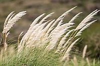 CORTADERA (Cortaderia rudiuscula), PARQUE NACIONAL LIHUE CALEL, PROV. DE LA PAMPA, ARGENTINA