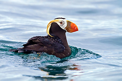 tufted puffin, or crested puffin, Fratercula cirrhata, South Marble Island, Glacier Bay National Park, Alaska, USA, Pacific Ocean
