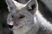 Wildlife: Coyote