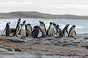 Group of magellanic penguins (Sphreniscus magellanicus) from Sea Lion Island, the Falklands.