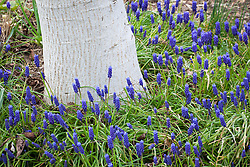 Muscari 'Superstar' growing round the base of a tree. Grape hyacinth