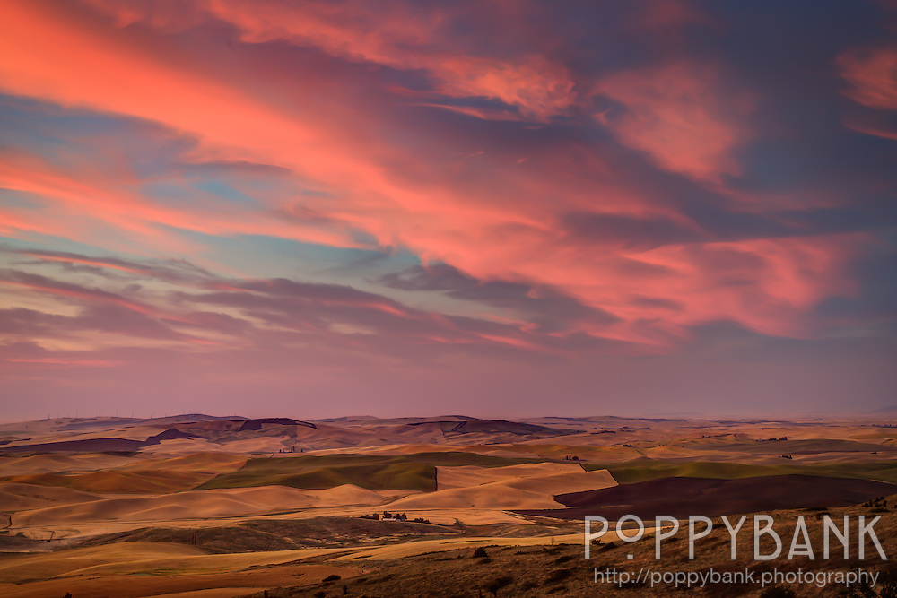 As the sun sets in the Palouse region of Washington State, shadows stretch long across fields of grain being harvested