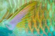 Longnose Parrotfish (Hipposcarus harid)<br /> Raja Ampat<br /> West Papua<br /> Indonesia