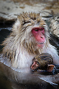 A female snow monkey (macaca fuscata) protects her child.